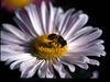 Vign_abeillea