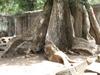 Vign_cambodge_055